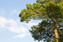 Coniferous a tree. Crown green coniferous a tree, on a background of the blue sky Stock Image
