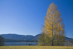Coniferous tree in autumn Royalty Free Stock Photography