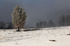 Coniferous tree on a background of a winter field. Old pine tree on the background of a winter field Stock Image