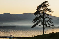 Coniferous tree on the bank of Lake Teletsky Royalty Free Stock Photo