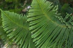Coniferous tree Stock Image