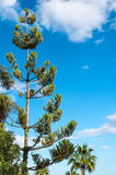 Coniferous tree on blue sky background Stock Photo