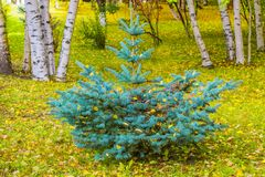 Coniferous tree blue spruce on a background of birch trees and yellow leaves on the ground. Autumn landscape Royalty Free Stock Images