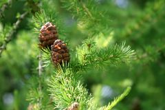 Coniferous tree branch with cones stock photos