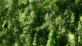 Coniferous tree branch. Larch stock video