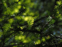Coniferous tree branch lit by sun close-up Stock Photography