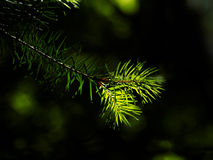Coniferous tree branch lit by sun close-up Stock Photo