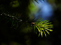 Coniferous tree branch lit by sun, close-up Stock Image