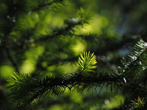 Coniferous tree branch lit by sun  close-up Stock Images