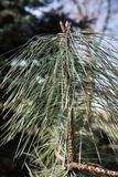 Coniferous tree branch with a missed needles. Day in the garden, coniferous tree branch with a missed needles, the blue sky and tree branch background royalty free stock photo