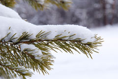 Coniferous tree branch in the snow Stock Photo