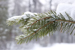 Coniferous tree branch in snow closeup Royalty Free Stock Photos