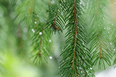 Coniferous Tree Branch With Water Drops. Royalty Free Stock Photos