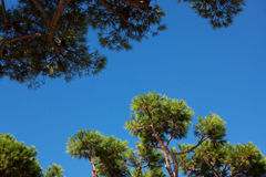 Coniferous tree branches against the sky Royalty Free Stock Photography