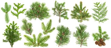 Coniferous tree branches Spruce pine thuja fir cone set