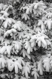 Coniferous tree branches under snow Stock Photos