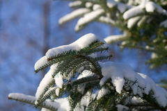 Coniferous Tree Royalty Free Stock Images