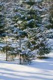 Coniferous Tree Royalty Free Stock Image