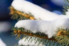 Coniferous Tree Royalty Free Stock Photography