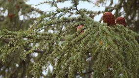 Coniferous tree with cones. Drops of rain are seen on needles stock video