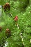 Coniferous tree Royalty Free Stock Photo