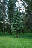 Coniferous tree in the forest in the spring with cones royalty free stock photo