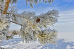Coniferous tree frosted snow pine. Stock Photo