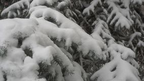 Coniferous tree and heavy snow. A large amount of snow falls on a coniferous tree in cold winter weather stock footage