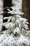 Coniferous tree in natural snowy background Stock Photo