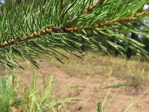 Coniferous tree Stock Photos