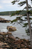 A coniferous tree off the rocky coast of Maine Royalty Free Stock Images