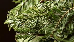 Coniferous Tree stock video footage