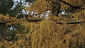 Coniferous tree with yellow leaf in autumn day. Park. Green trees. Nature. stock video footage