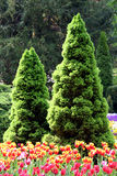 Coniferous trees. Picea in the ornamental garden with tulips in the front in springtime Royalty Free Stock Photos