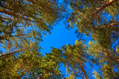 Coniferous trees Royalty Free Stock Photography