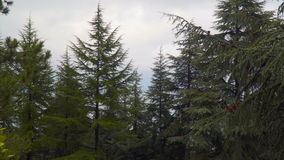 Coniferous trees against the backdrop of an overcast sky stock video footage