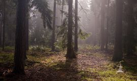 Coniferous trees against light of misty sunrise Royalty Free Stock Photos