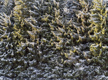Coniferous trees (the background) Royalty Free Stock Photos