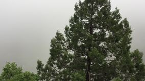 Coniferous trees on background white morning mist in mountains. Panoramic view mountain pine trees in misty haze in stock footage