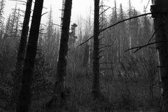 Coniferous trees Stock Photo