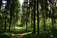 Coniferous trees convey a different mood and meaning than deciduous: not joy and sadness, not different emotional impulses. But rather a mysterious silence royalty free stock image