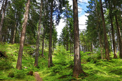 Coniferous trees in a forest in the mountains. Coniferous trees in a green forest in the mountains Royalty Free Stock Images