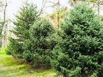 Coniferous trees. Green coniferous trees in the park Royalty Free Stock Photos