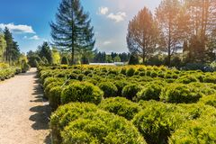Coniferous trees in the outdoor plant nursery Stock Images