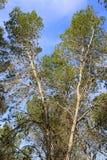 Coniferous trees Stock Photography