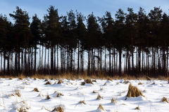Coniferous Trees in a snow covered landscape Stock Photos