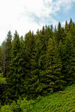 Coniferous trees in the summer Stock Photography