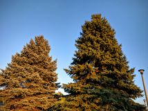 Coniferous trees in sunset Stock Photo