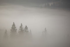 Coniferous trees in a thick fog. Idyllic morning Royalty Free Stock Images