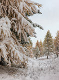 Coniferous trees under a snowfall Royalty Free Stock Photos
